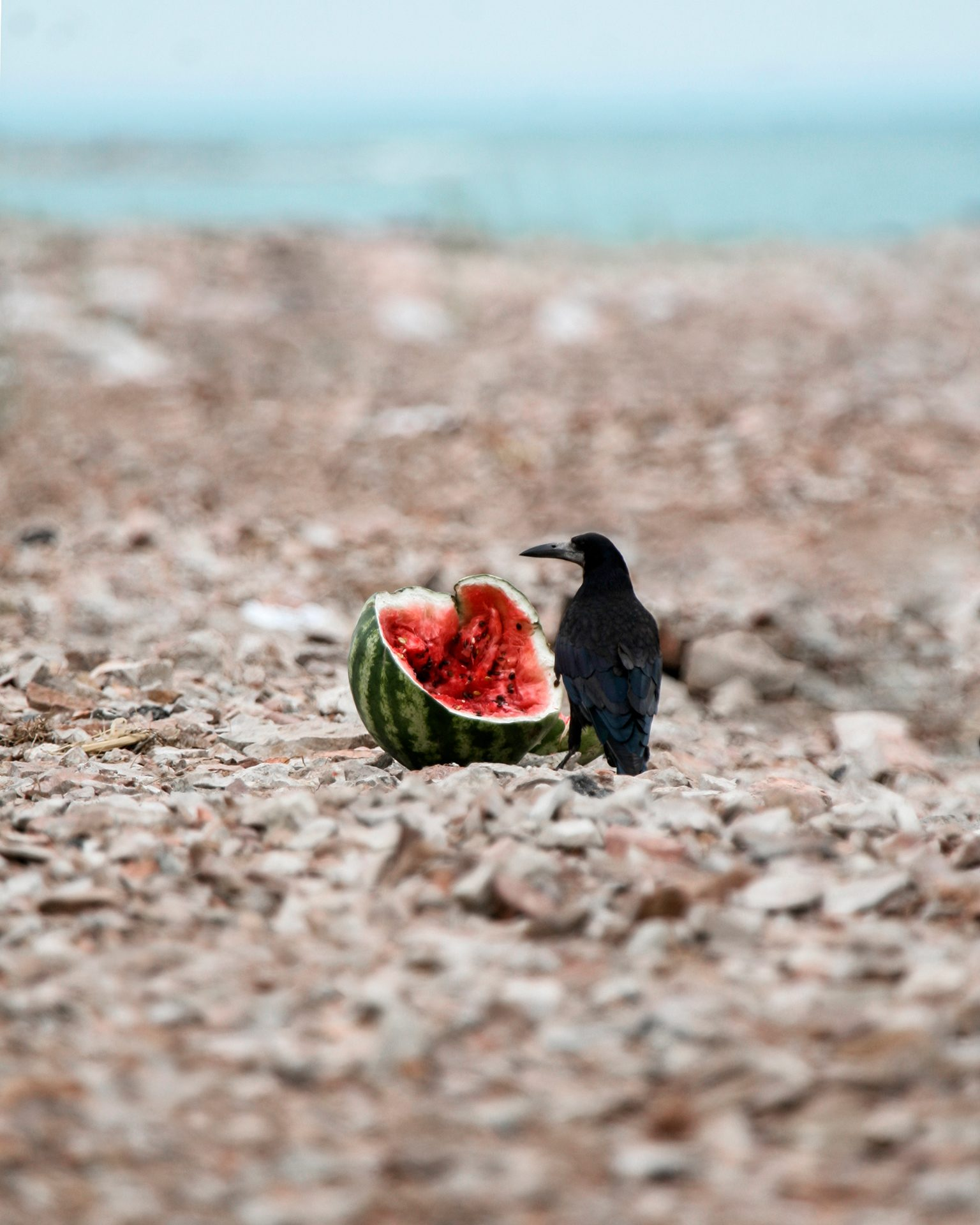 Dead Flag Blues, crow, watermelon, beach, gybe