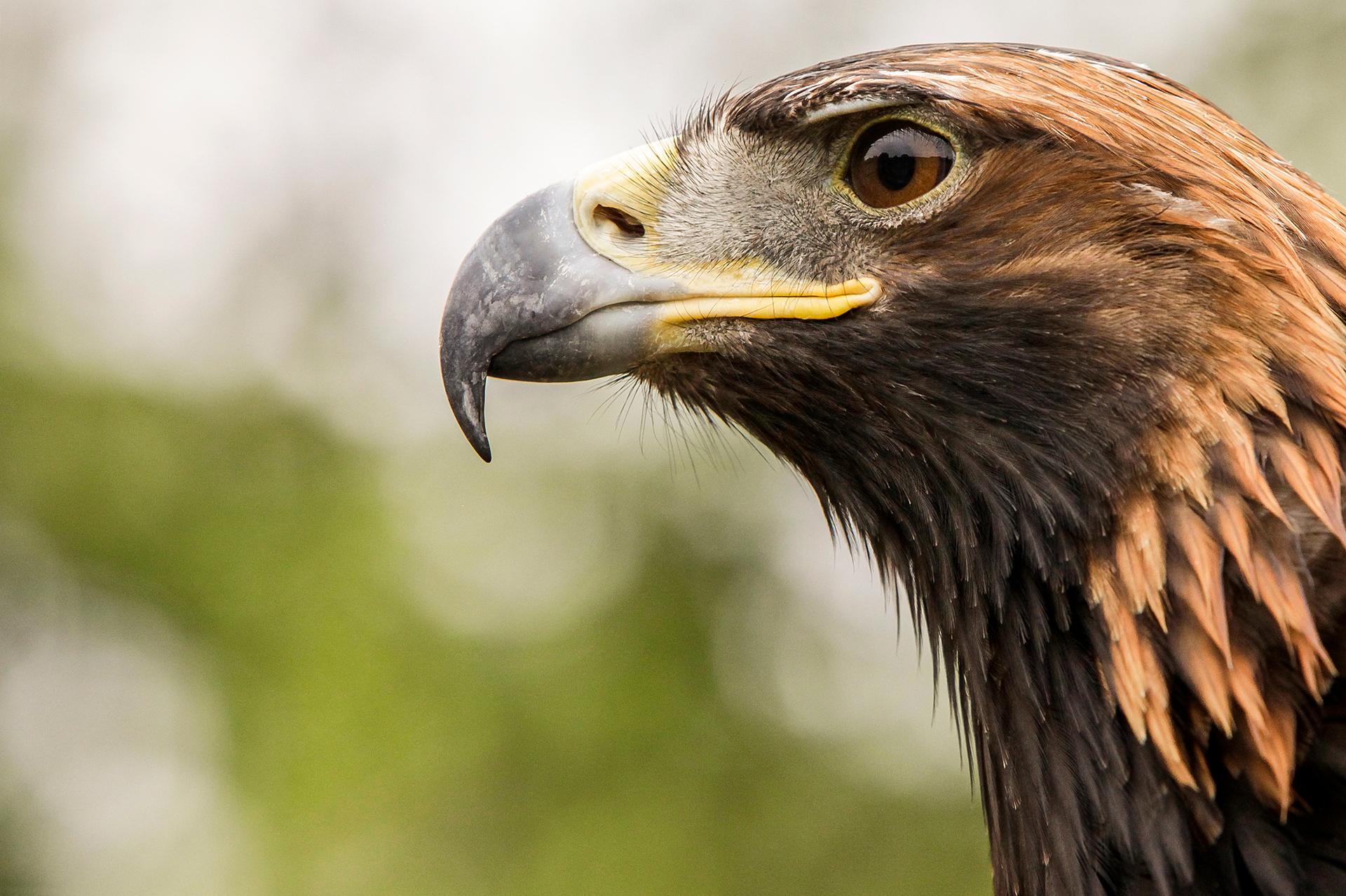 Golden Eagle, Turgen, eagle, closeup
