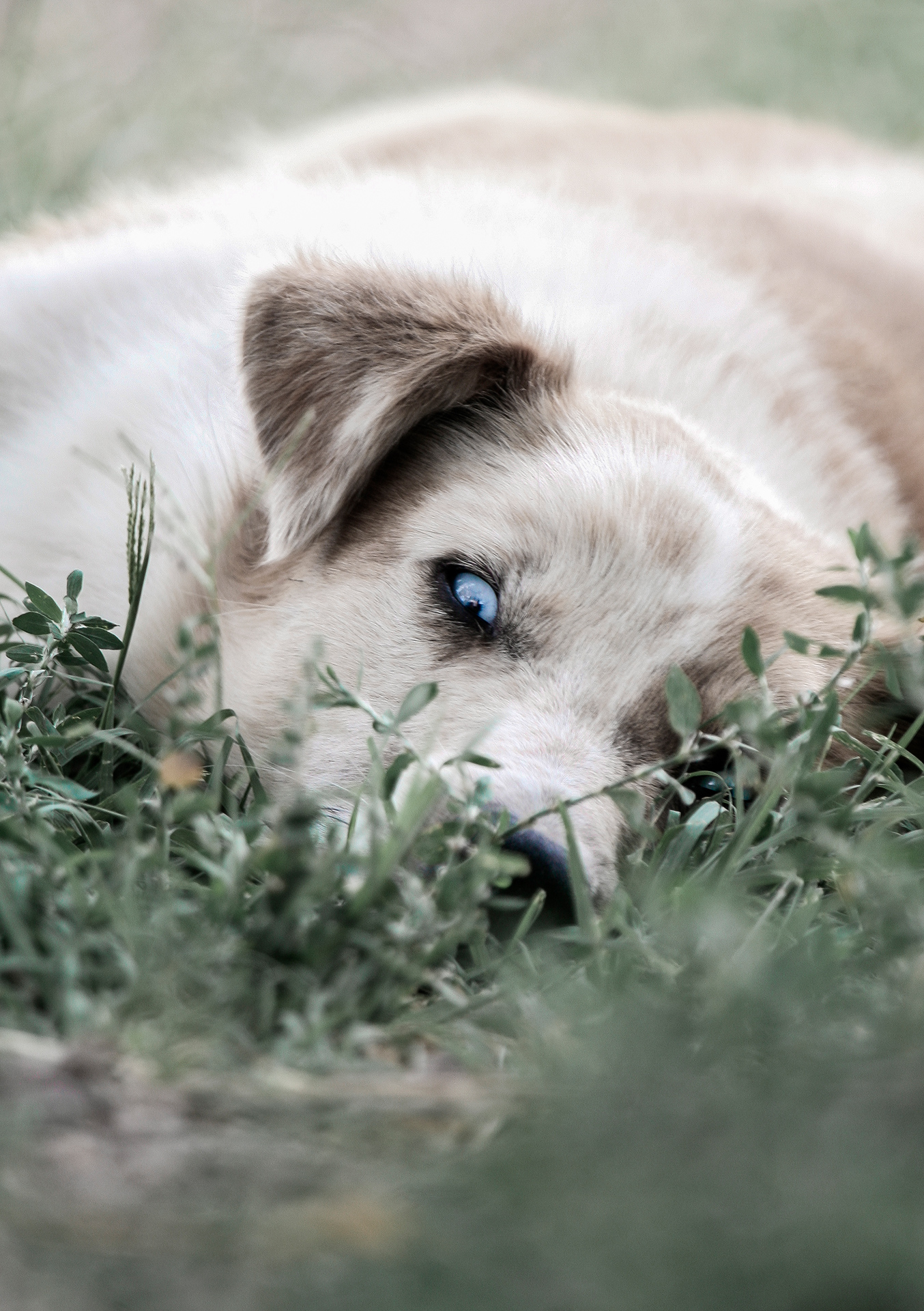 Stray dog, Kapchagay city, Kazakhstan, blue eyes, white dog, grass