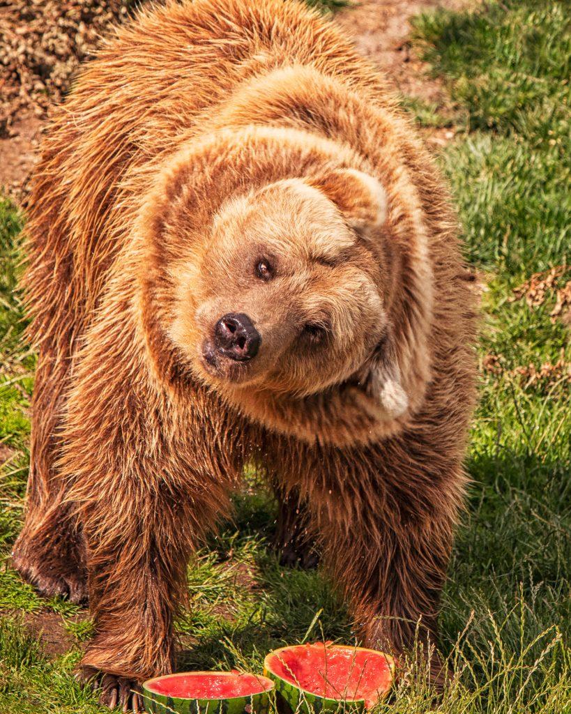 Bear, Korkeasaari, Helsinki, Zoo, karhu, Suomi, watermelon