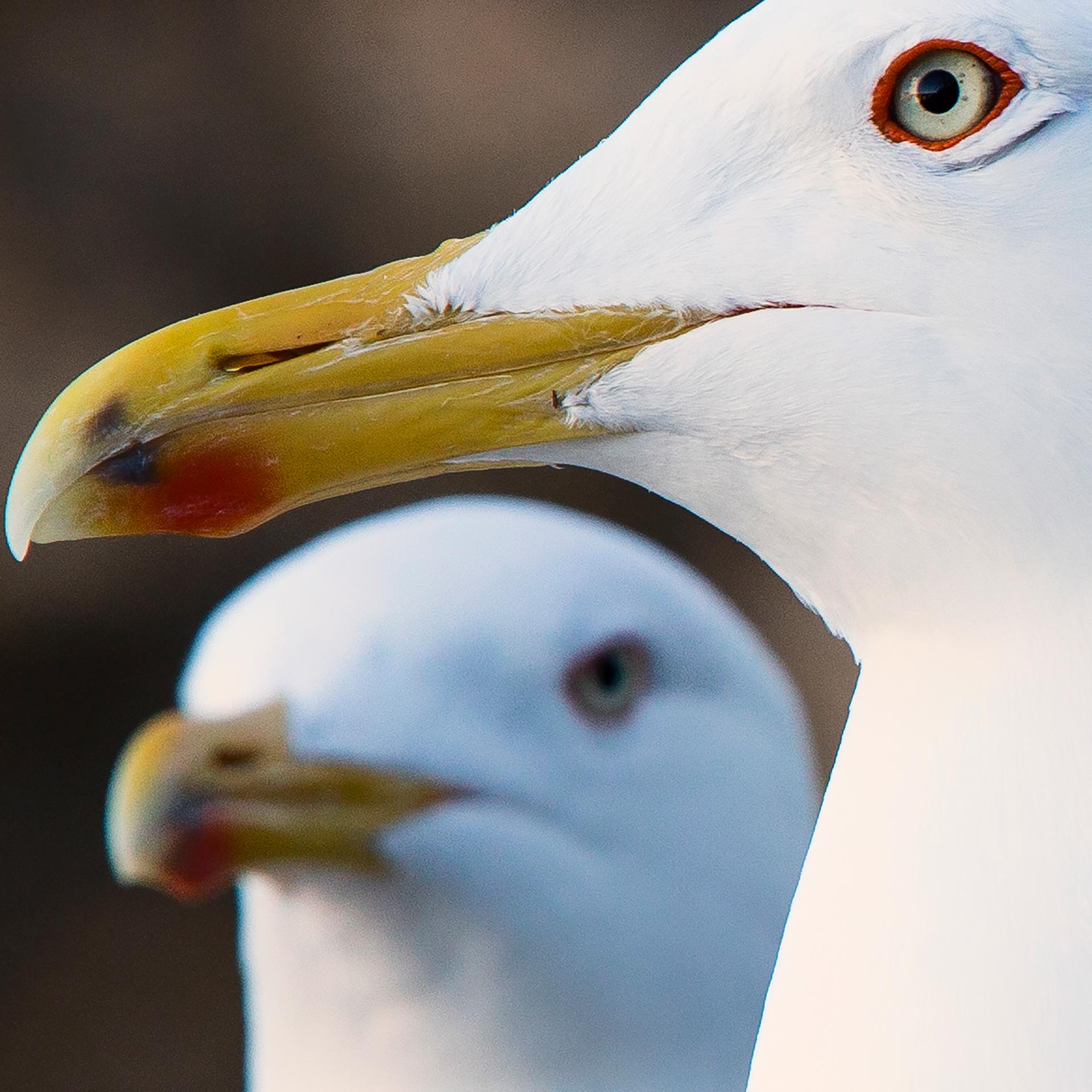 Seagulls, Tallinn, gulls, closeup, birds