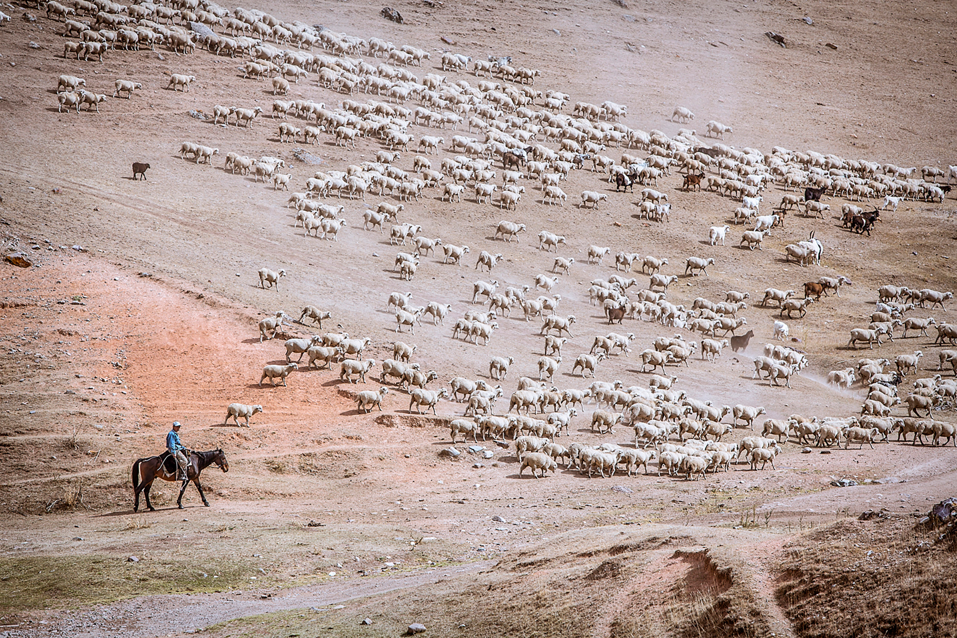 Shepherd, Eastern Kazakhstan, lambs, steppe, hills, sheep