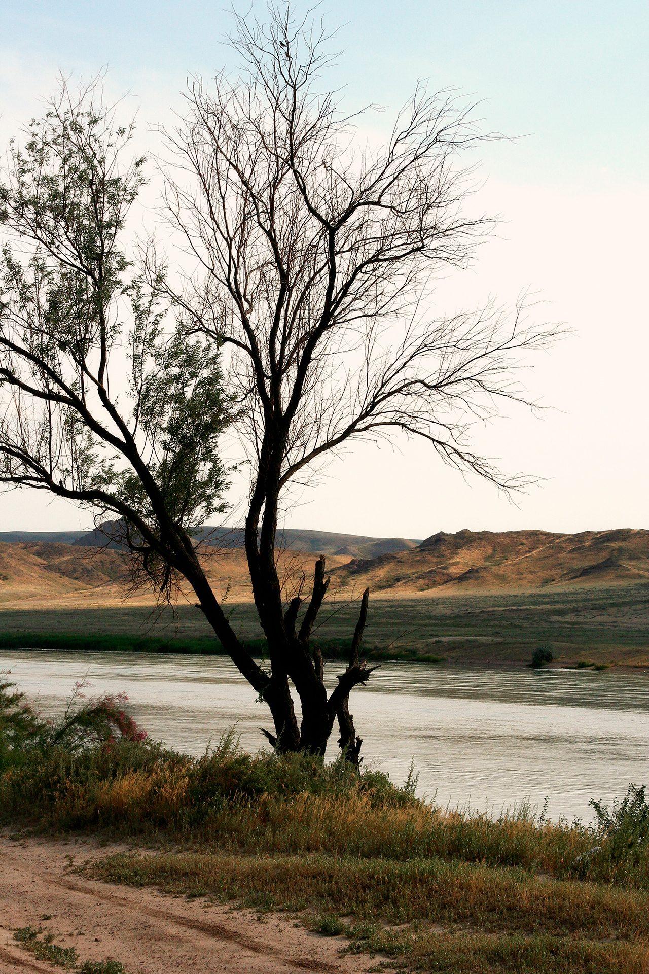 An old tree, Ili river, Almaty area, Kazakhstan, nature, steppe